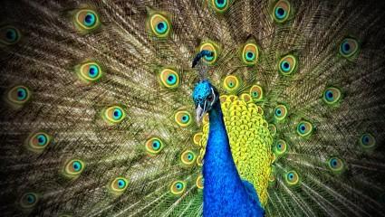 peacock-50515